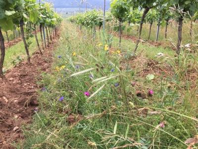 Crédit Jean Masson, Inrae, enherbement, vignoble, viticulture, Alsace