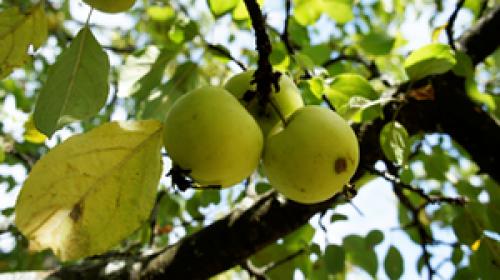 Pommes sauvages Malus sylvestris