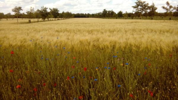 Bande fleurie dans une parcelle agroforestière (BASCULER)