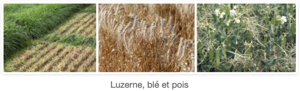 Luzerne, blé ét pois