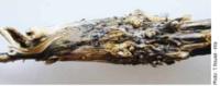 Une illustration de la publi Résistance du colza au phoma : où en est l'efficacité de Rlm7 ?