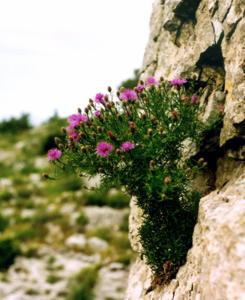 Fleur TransLocPlant