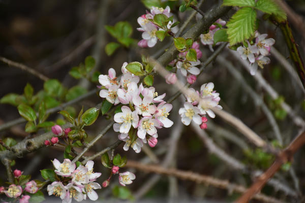 fleurs-malus-sylvestris-red