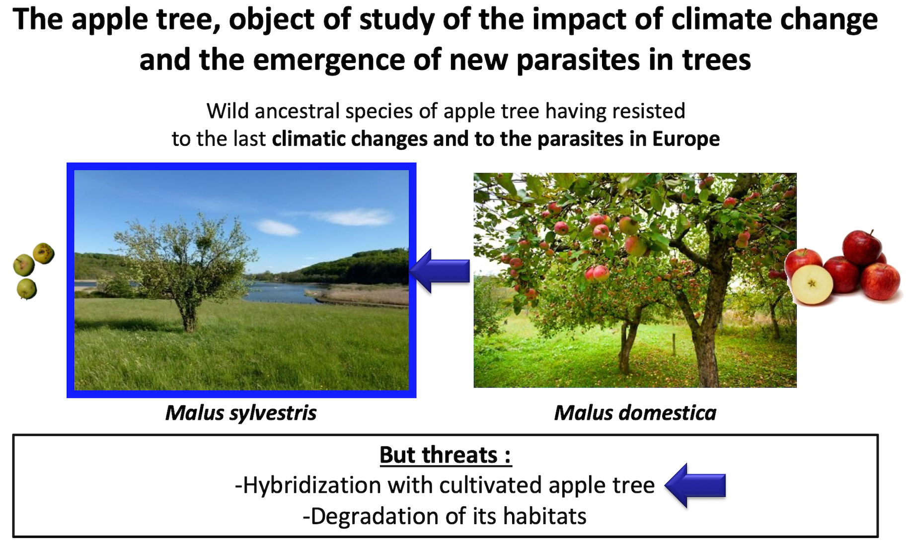 The apple tree, object of study