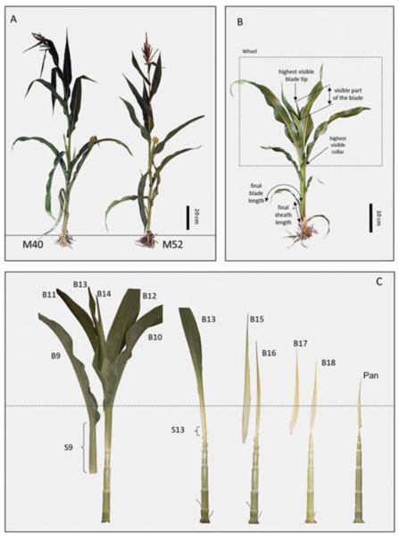 Two maize cultivars of contrasting leaf size show different leaf elongation rates with identical patterns of extension dynamics and coordination
