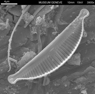 Halamphora ghanensis