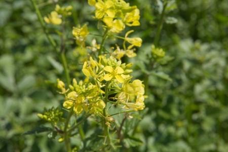 Fleur de moutarde