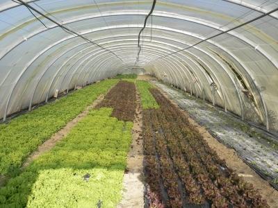 Variétés de salades cultivées sous serre