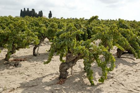 vigne sécheresse