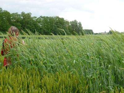 Blés récents et blés récents à la ferme du Moulon, INRA de Gif-sur-Yvette