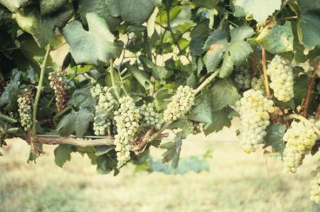 Symptômes de la Flavescence dorée sur vigne, cépage Chardonnay Blanc : à gauche grappe atteinte, à droite grappe saine