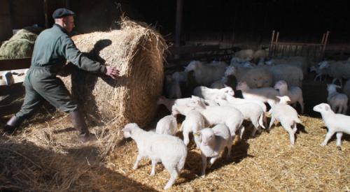 Plateforme INRA de recherches en production biologique ovine, Clermont-Ferrand.