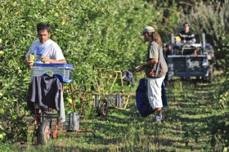 Récolte des pommes à l'Inra de Gotheron