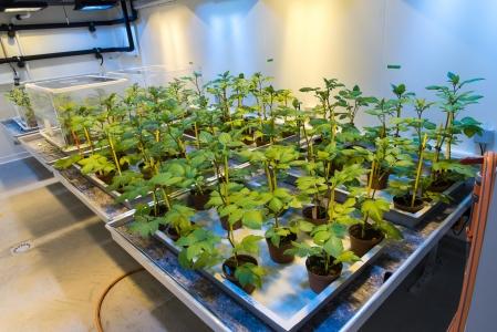 Image de plantes d'expérimentation sous serre