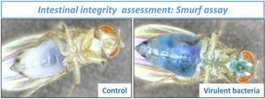 Intestinal integrity  assessment Smurf assay