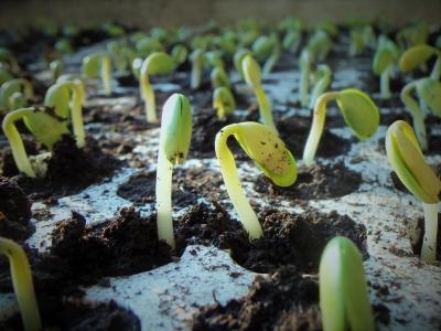 pousses de soja sortant de terre
