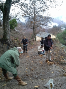 Récolte de galles sur le site de Pianu (Corse) en 2014