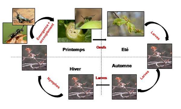 Cycle biologique de Torymus sinensis