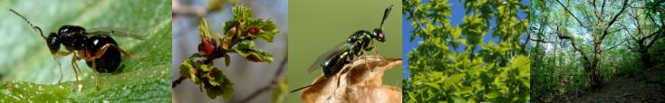 Lutte biologique classique contre le cynips du châtaignier en France