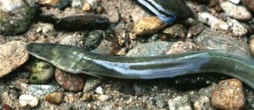Les scientifiques d'INRAE au chevet de la protection de l'anguille en Europe