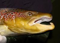 Saumon bécard