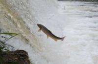 saut saumon