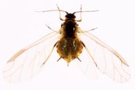 Aphis ruborum : adulte ailé