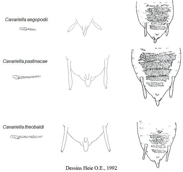 Cavariella : différences morphologiques entre les espèces