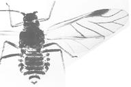 Chaitophorus leucomelas : adulte ailé