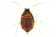 Melanaphis pyraria : adulte aptère