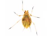 Myzus ascalonicus : adulte aptère