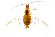 Wahlgreniella arbuti : adulte ailé