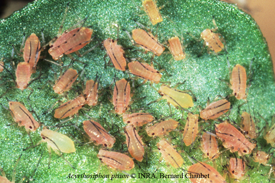 Acyrthosiphon pisum colonie rose © INRA, Bernard Chaubet