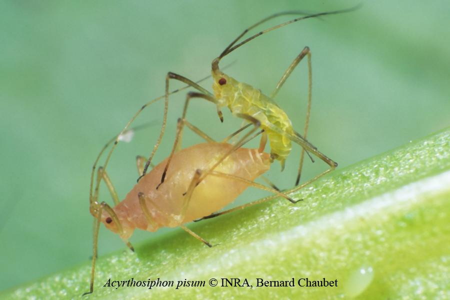 Acyrthosiphon pisum : accouplement (ovipare rose, mâle vert)
