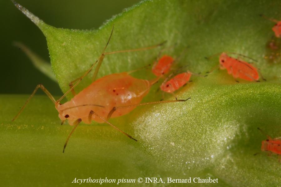 Acyrthosiphon pisum : adulte aptère et larves roses