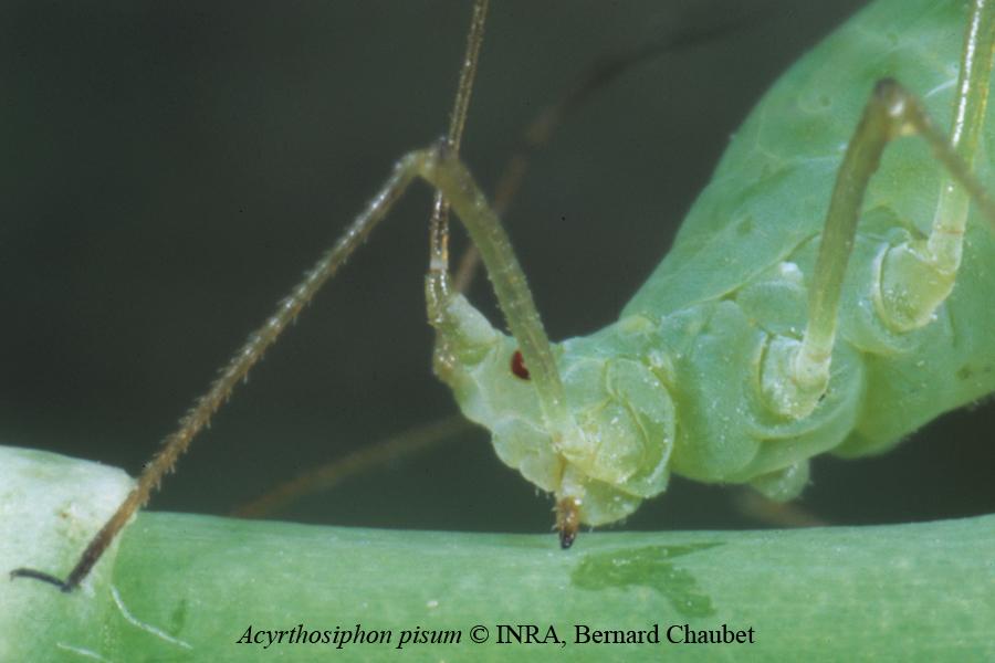 Acyrthosiphon pisum, détail de la tête © INRA Bernard Chaubet