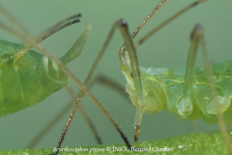 Acyrthosiphon pisum : cornicules, cauda et tête vue de profil
