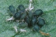 Aphis sambuci : colonie