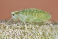 Cavariella theobaldi : adulte aptère
