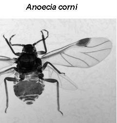 Anoeciinae : Anoecia corni