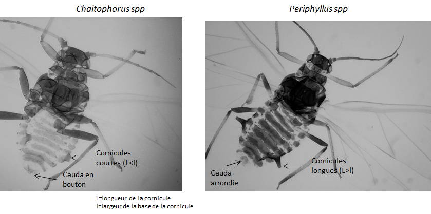 Différents critères morphologiques de Chaitophorus et de Periphyllus