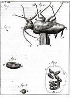 Figure 3 : Planche de la lettre 90 de Leeuwenhoek