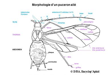 Morphologie de l'ailé