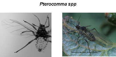 Pterocommatinae