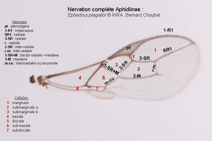 Aphidiinae : nervation complète de l'aile