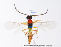Aphidiinae sp : adulte