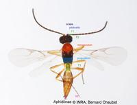 Aphidiinae sp : adulte