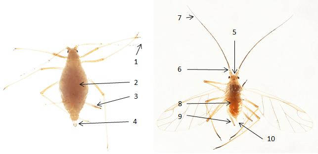Amphorophora idaei / Amphorophora rubi : fiche d'identification