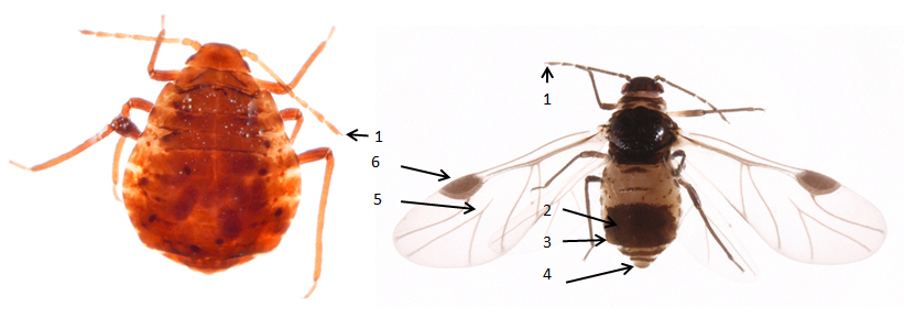 Anoecia corni : fiche d'identification