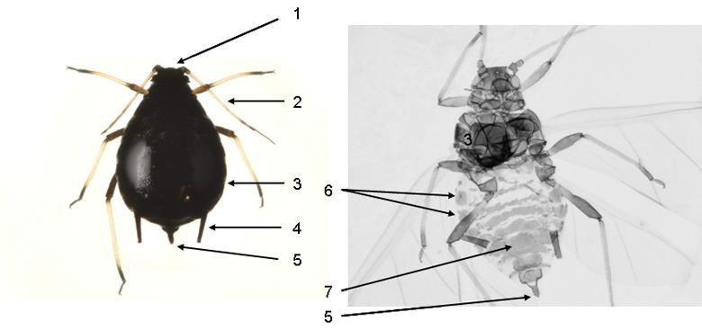 Aphis craccivora : fiche d'identification